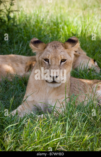 Young Lion cub at Lion Park South Africa - Stock Image