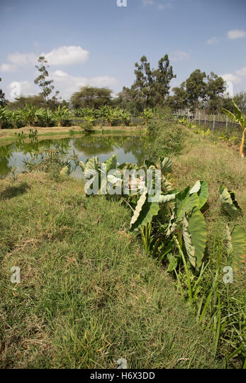 Overflow in fish pond in constructed wetland treating all waste water Longonot Horticulture Ltd Naivasha Kenya - Stock Image