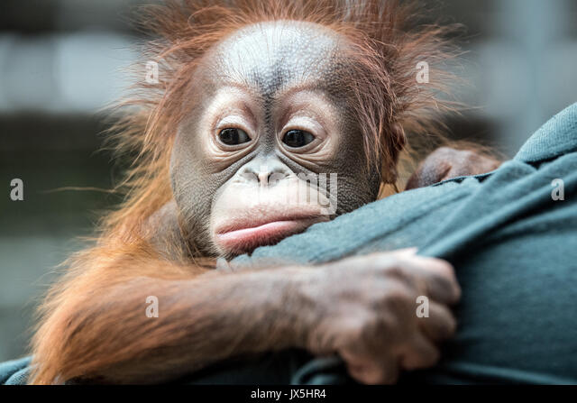 Krefeld, Germany. 15th Aug, 2017. A zoo keeper holding the 2.5-month old Borneo Orangutan baby 'Hujan' in - Stock Image