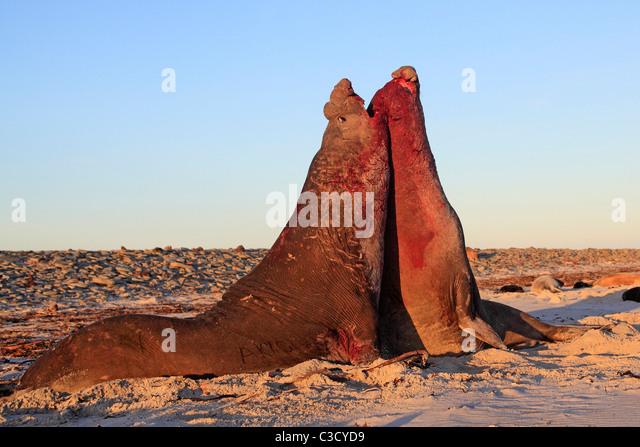 Southern Elephant Seal (Mirounga leonina). Two bulls fighting on a sandy beach. - Stock-Bilder