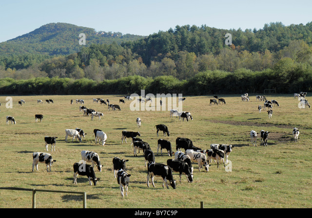 Georgia Helen Southern Appalachian Mountains Blue Ridge pasture field land grass bovine livestock cow herd domestic - Stock Image