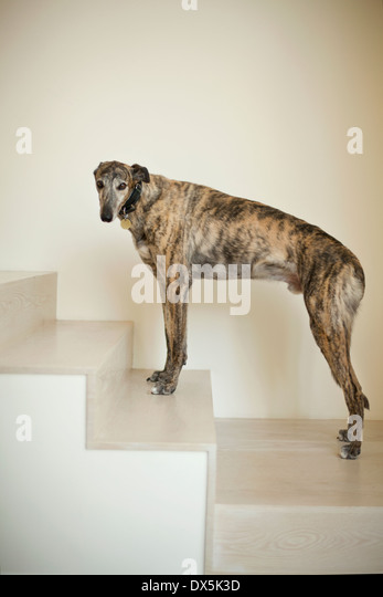 Greyhound dog on stairs, portrait - Stock Image