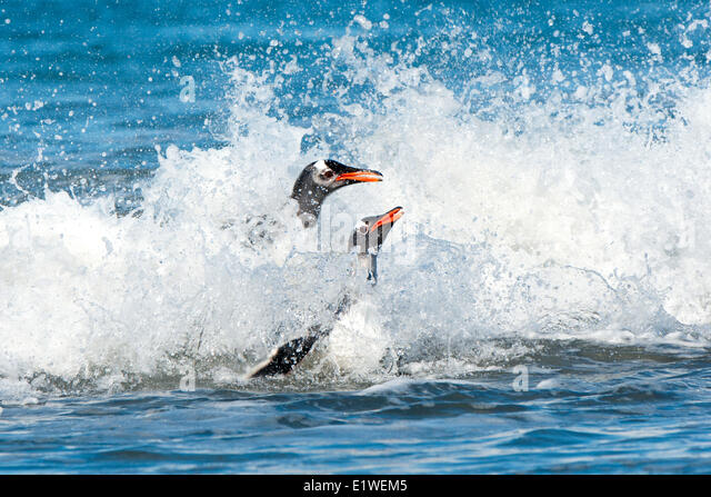 Gentoo penguins (Pygoscelis papua) returning from foraging at sea, Falkland Islands, Southern Atlantic ocean - Stock Image