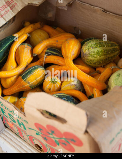 Box full of winter squash - Stock Image