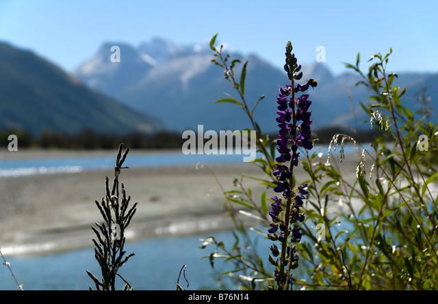 Lupins alongside the Dart River, near Glenorchy, South Island, New Zealand - Stock Image