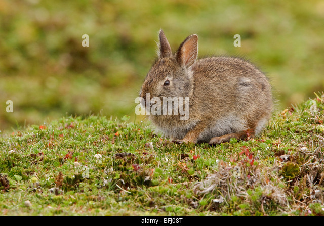 A Rabbit in the highlands of Ecuador - Stock Image