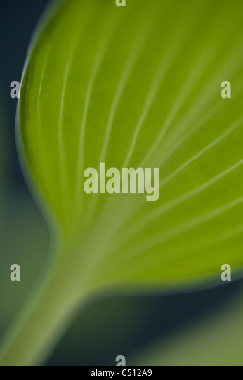 June Plantain Lily close ups - Stock Image