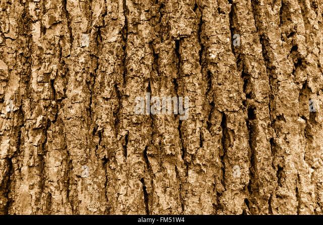 Close up of coarse tree bark in sepia tone - Stock Image