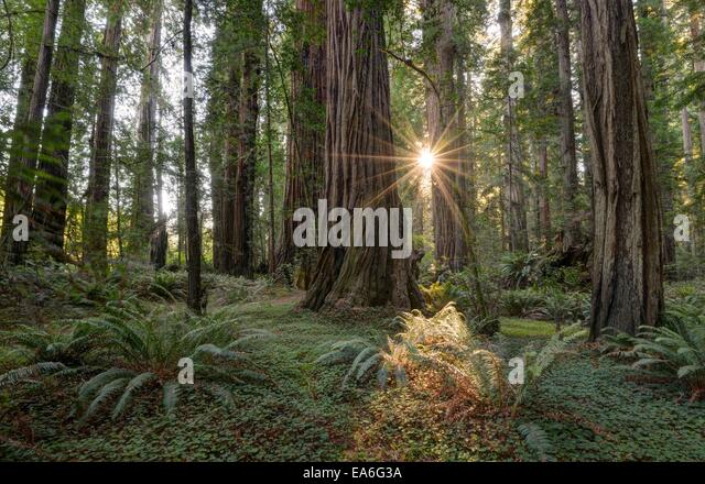 USA, California, Redwood National Park, Forest in sunlight - Stock Image
