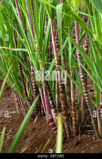 how to grow sugar cane uk