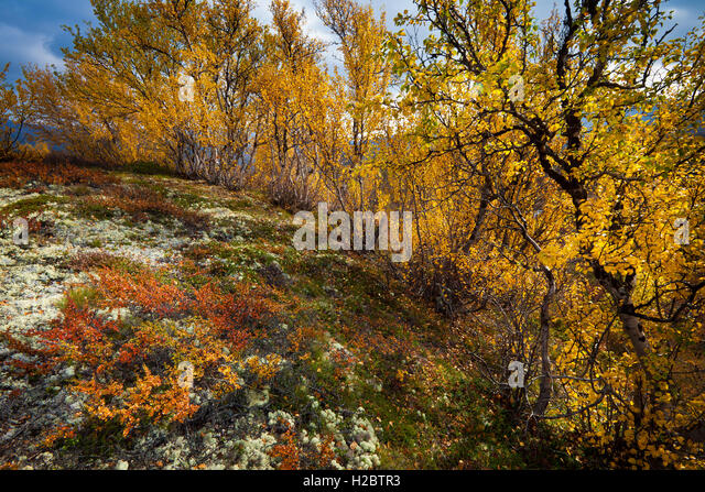 Birch trees in autumn colors in Dovrefjell national park, Norway. - Stock-Bilder