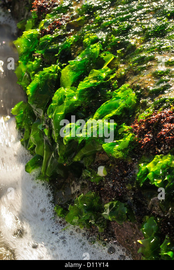 Chlorophyta Stock Photos & Chlorophyta Stock Images - Alamy