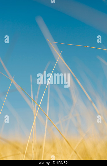 Sea grasses on Long Beach Peninsula, on the coast of Washington state. - Stock Image