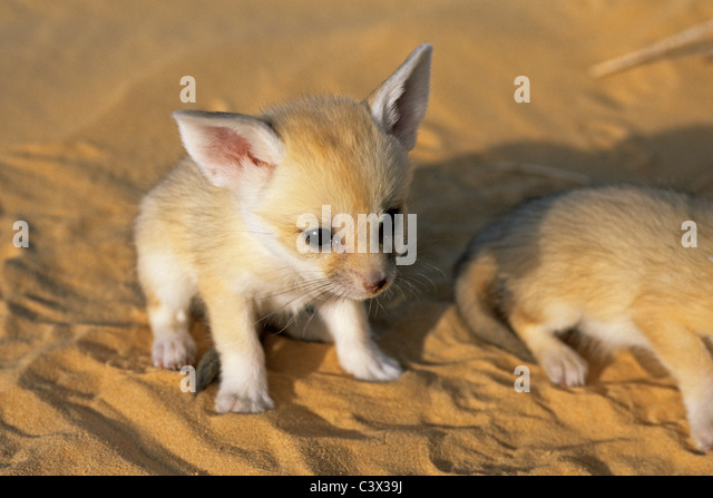 Algeria. Near Ouargla, in the Eastern Sandsea. (Grand Erg Oriental). Sahara desert. Fennec. Fennecus Zerda. Young. - Stock Image