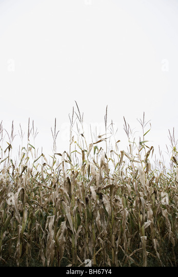 Corn crop - Stock Image