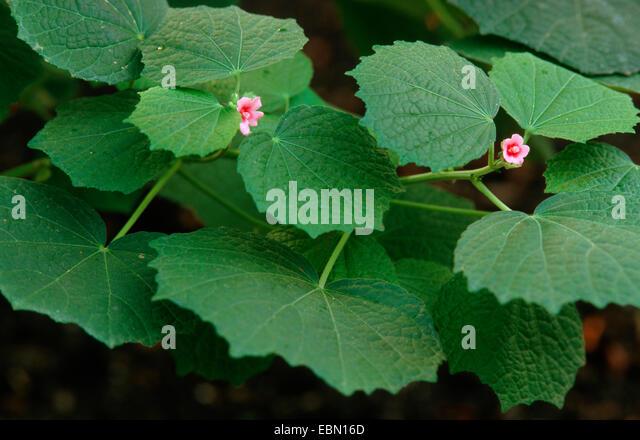 Properties of urena lobata linn caesar weed