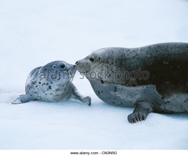 Harbor seal and pup, Alaska, USA - Stock-Bilder