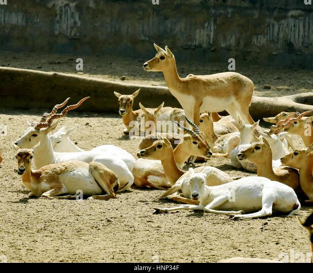 White Buck - Stock Image