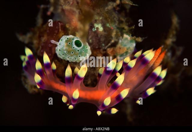 Flabellina exoptata - Stock Image