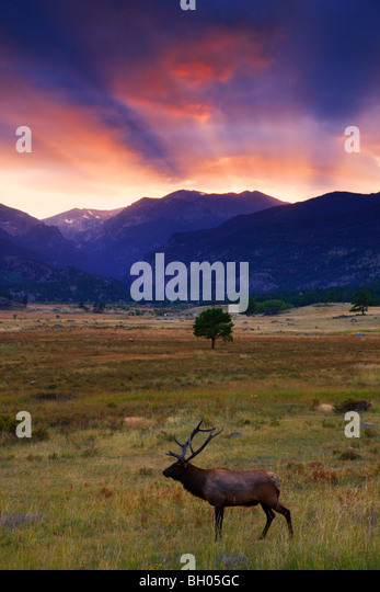 Elk in Moraine Park, Rocky Mountain National Park, Colorado. - Stock Image