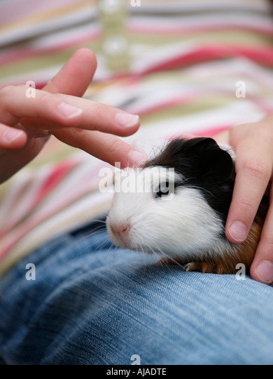 Child carefully petting small baby guinea pig cavy closeup Ruurlo Gelderland the Netherlands - Stock Image