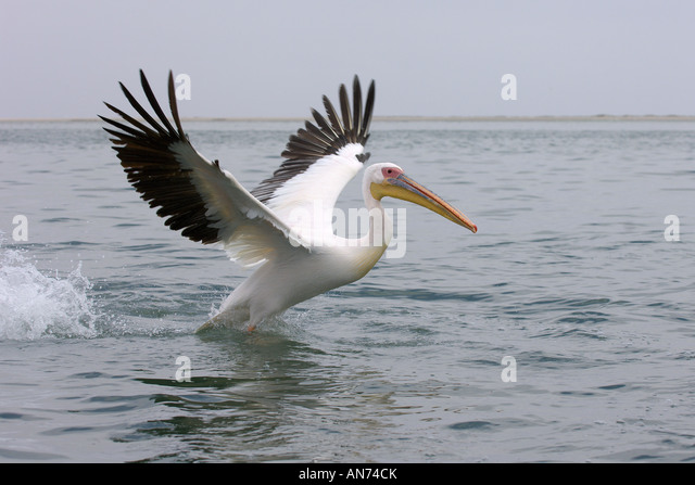 Great white pelican Pelecanus onocrotalus adult taking off from water Walvis Bay Namibia November - Stock Image
