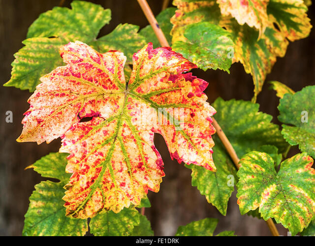 Rust grape vine leaves - France. - Stock Image