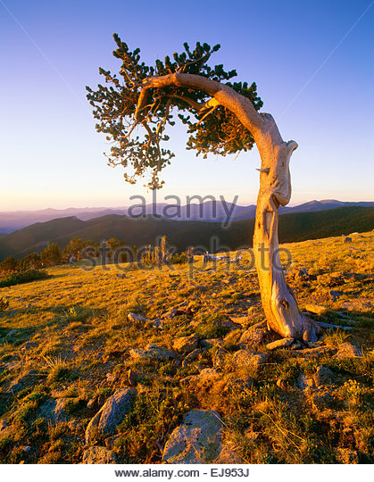 Ancient bristlecone pine on slope of Mt. Evans at Mt. Goliath Natural Area.  Arapaho National Forest, Colorado. - Stock-Bilder