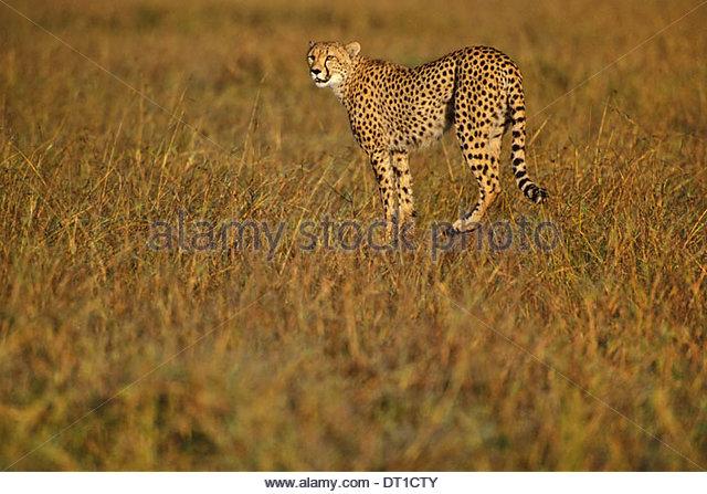 Kenya Cheetah hunting Acinonyx jubatus Kenya - Stock Image