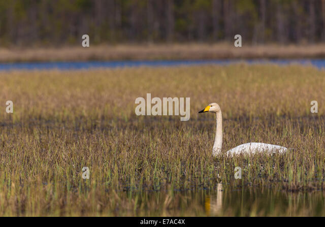Whooper swan, Cygnus cygnus, lying resting in grass in a swamp - Stock Image