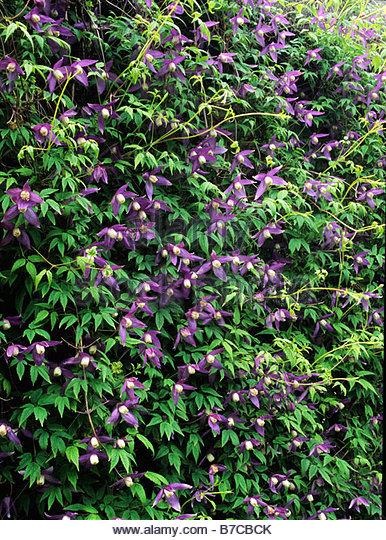clematis alpine alpina purple stock photos clematis. Black Bedroom Furniture Sets. Home Design Ideas