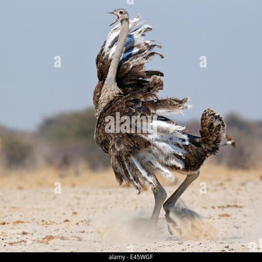 Ostrich [Struthio camelus] courtship display by female, Etosha National Park, Namibia, August - Stock Image