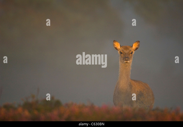 SIKA DEER Cervus nippon A sub-adult calf is lit by gentle morning sunlight filtering through a thick mist Dorset, - Stock-Bilder