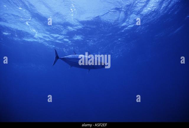 Skipjack tuna Katsuwonus pelamis swimming in clear blue oceanic water Bay of Plenty New Zealand - Stock Image