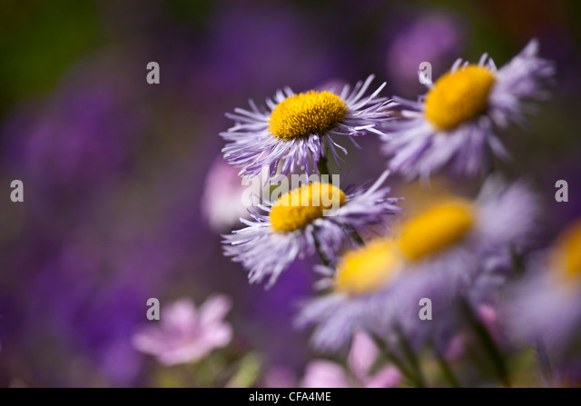 Michaelmus daisies making a pretty picture with this impressionist shot - Stock Image