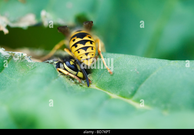 Vespula vulgaris. Wasps eating rhubarb leaves in an English garden. Gathering plant material for nest building - Stock Image