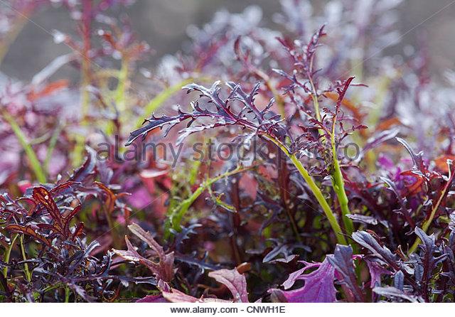 Brassica juncea. Micro Leaf Mustard Red Frills - Stock Image