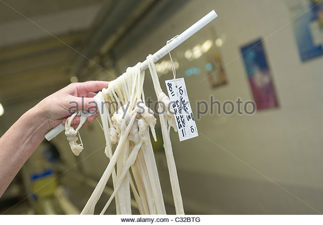 Extracting Cow gut  at Bow Brand factory in Kings Lynn, Norfolk, whereafter it will be  used to make harp strings. - Stock Image