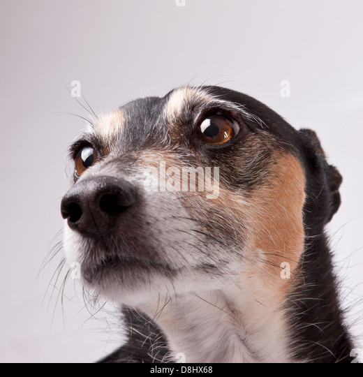 Head shot of an earnest looking dog - Stock Image