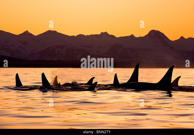 Silhouette of a pod of Orca whales in Lynn Canal with Chilkat Mountains in the background, Inside Passage, Alaska - Stock Image