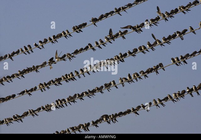 sand martin (Riparia riparia), flock on a telephone wire, Netherlands - Stock Image