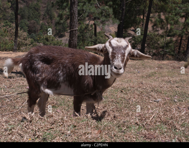 A goat grazes on a hillside near the home of its owner in Totonicapan, Guatemala. - Stock Image