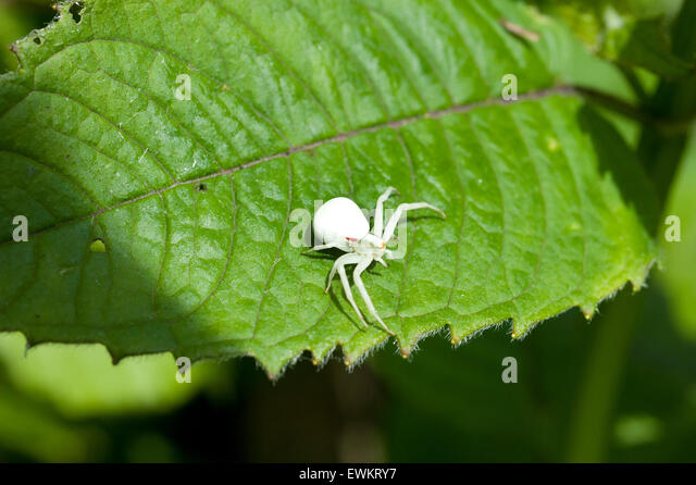 An Albino Goldenrod Crab Spider, Misumena Vatia Thomisidae, standing on a Monarda Balm Aromatic plant leaf - Stock Image