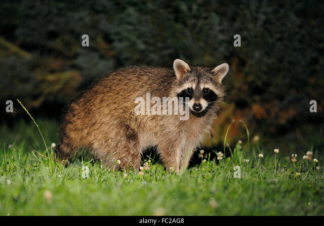 Common Raccoon ( Procyon lotor ) looks surprised, stands in front of some bushes, late in the night, wildlife, Germany. - Stock Image