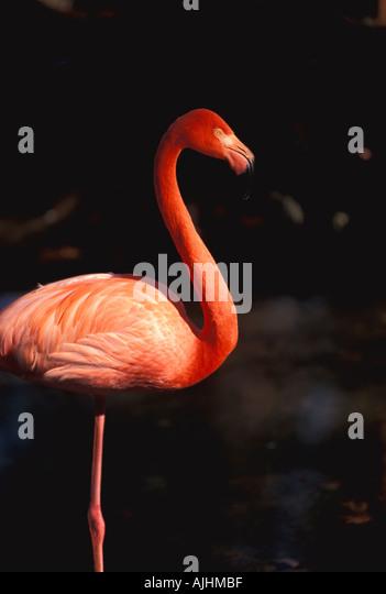 Birds Flamingo dark orange color standing on one leg - Stock Image