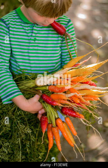 Boy holding a bunch of freshly picked carrots - Stock Image