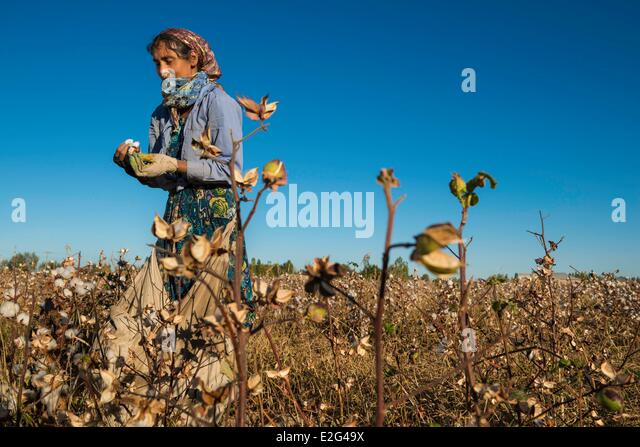 Uzbekistan Silk Road Khorezm province women picking cotton - Stock Image