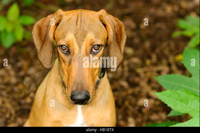 Dog shy guilty is a beautiful shelter hound dog looking up with an intense stare outdoors in nature - Stock Image