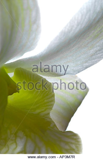 Abstract close up of beautiful fresh white orchid flower - Stock Image