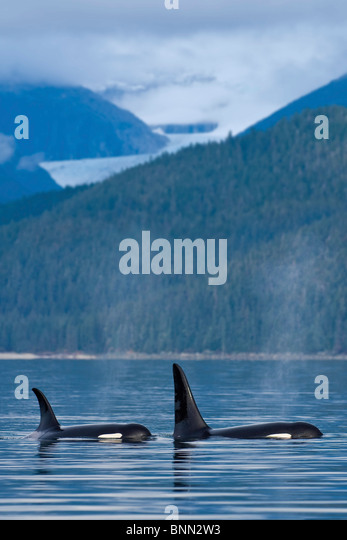 COMPOSITE: Orca Whales surface in Favorite Passage with Eagle Glacier and coastal mountains beyond, Inside Passage, - Stock Image